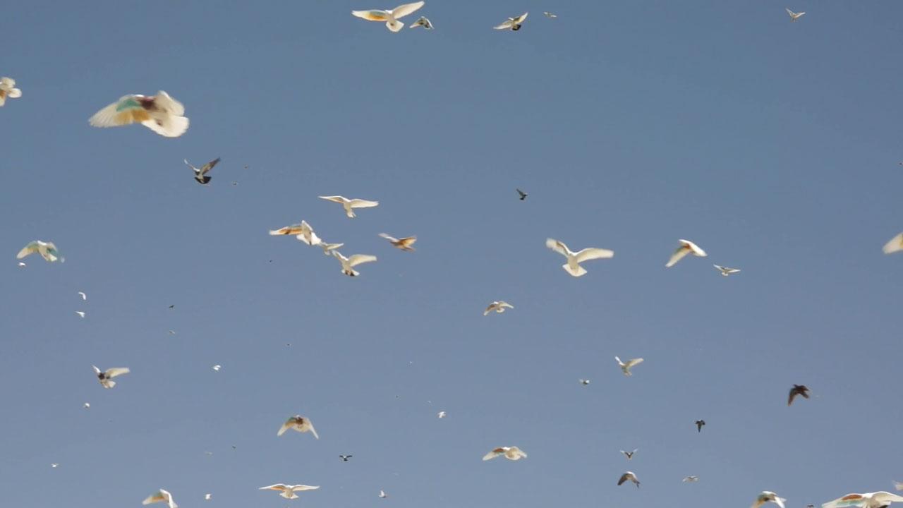 Aidin Bagheri | Pigeon Fancier | 2019 | 08:35